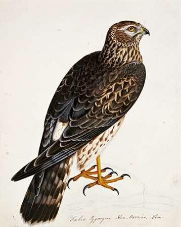 Falco Pygargus, Hen-Harrier, Fem poster print by Rev. Christopher Atkinson