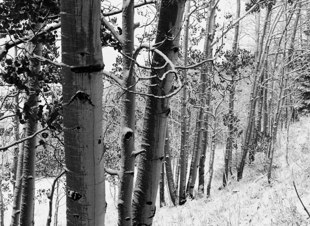 Aspens with snow, Gunnison National Forest, Colorado - BW poster print by Tim Fitzharris