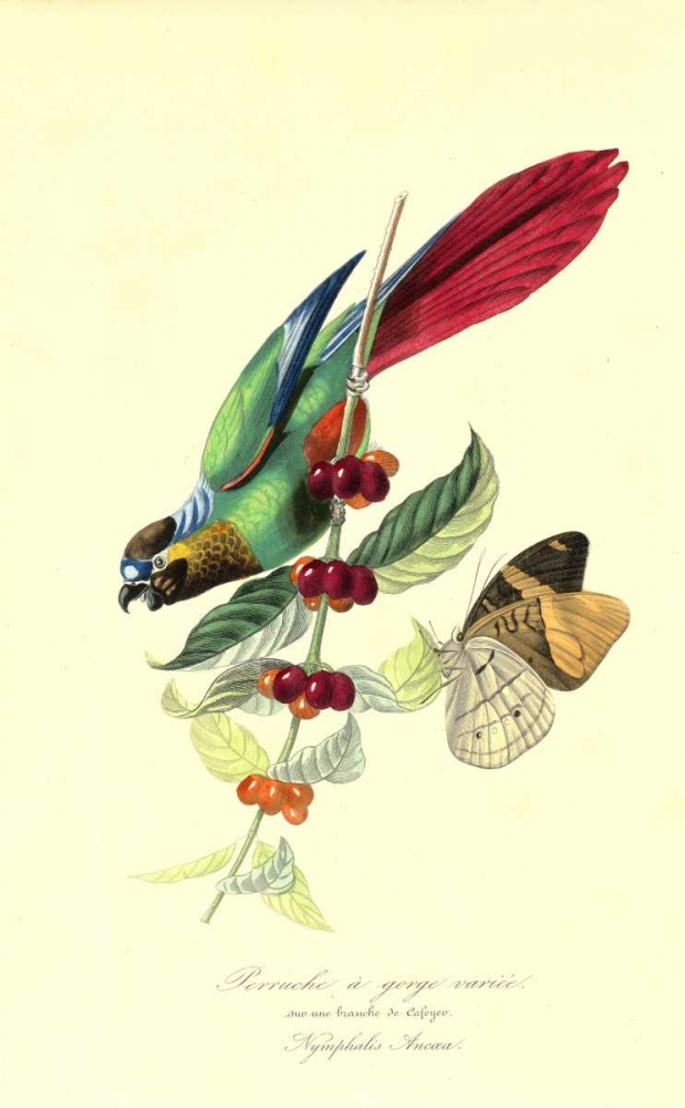 Parakeet on Coffee Bush poster print by 1842 Anonymous