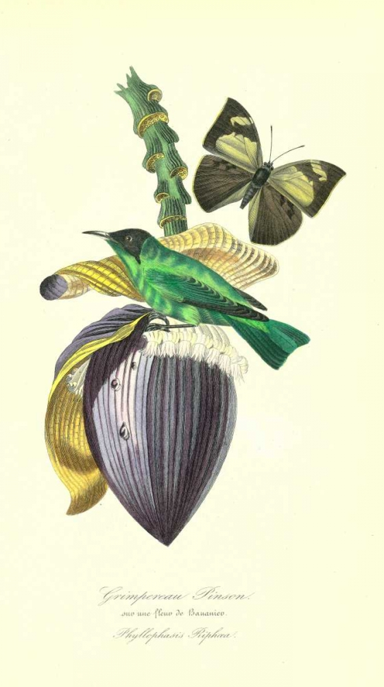 Finch on Flower of Banana poster print by 1842 Anonymous