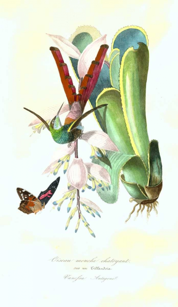 Humming Bird on Bromeliad poster print by 1842 Anonymous