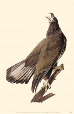 Bald Eagle poster print by John James Audubon