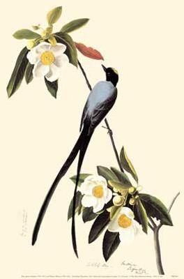 Fork-Tailed Flycatcher poster print by John James Audubon