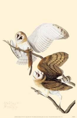 Common Barn-Owl poster print by John James Audubon