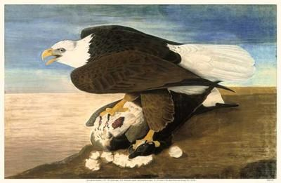 Bald Eagle W Goose poster print by John James Audubon