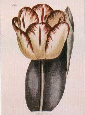 Garden Tulip poster print by  Unknown