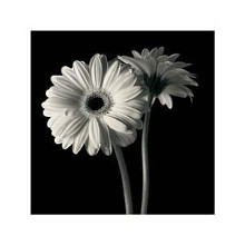 Gerber Daisies I poster print by Michael Harrison
