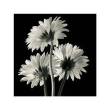 Gerber Daisies II poster print by Michael Harrison
