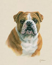 English Bulldog poster print by Judith Gibson
