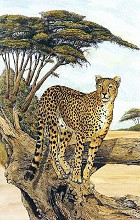 Cheetah Gazing poster print by Charles L Berry
