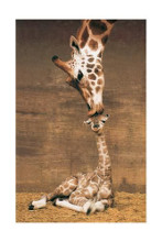 Makulu - Giraffe First Kiss poster print by Ron D'Raine