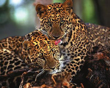 Leopards poster print by  Unknown