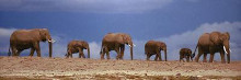 African Elephant Herd in Kenya poster print by  Unknown