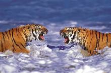 Bengal Tigers Roaring poster print by  Unknown