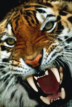 Bengal Tiger Close-Up poster print by  Unknown