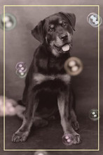 Dog with Bubbles poster print by  Unknown