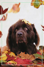 Dog in Leaves poster print by  Unknown