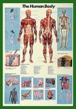 Human Body poster print by  Unknown