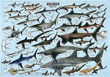 Sharks poster print by  Unknown