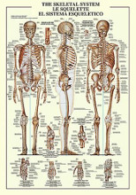 Skeletal System poster print by  Unknown