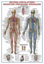 Circulatory System poster print by  Unknown