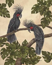 Black Palm Cockatoos poster print