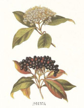 Naked Viburnum poster print by Anonymous Antique Floral