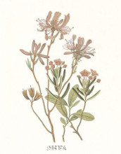 Canada Rhodora poster print by Anonymous Antique Floral