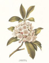 Mountain Laurel poster print by Anonymous Antique Floral