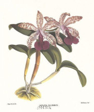 Cattleya Calummata poster print by Anonymous Antique Floral