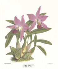 Laelia Gouldiana poster print by Anonymous Antique Floral