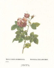 Roses poster print by  Redoute
