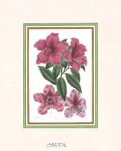 Azalea No 1 poster print by Anonymous Antique Floral