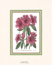 Azalea No 2 poster print by Anonymous Antique Floral