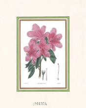 Azalea No 3 poster print by Anonymous Antique Floral
