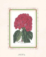Rhododendron No 1 poster print by Anonymous Antique Floral