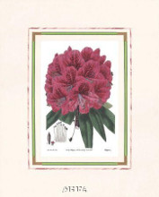Rhododendron No 2 poster print by Anonymous Antique Floral
