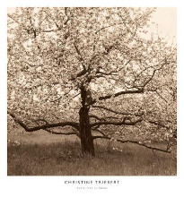 Apple Tree In Bloom poster print by Christine Triebert
