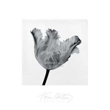 Parrot Tulip I poster print by  Artin