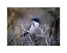 Scrub Jay poster print by Art Wolfe