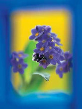 Myosotis poster print by  Small