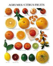 Citrus Fruit poster print by  Unknown
