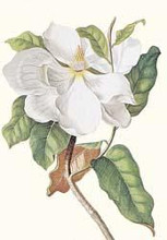Magnolia Maxime Flore poster print by Georg Dionysius Ehret