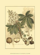 Small Antique Horse Chestnut Tree poster print by John Miller