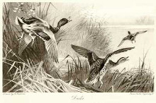 Ducks poster print by Archibald Thorburn