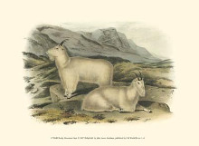 Rocky Mountain Goat poster print by John James Audubon