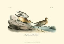 Buff Breasted Sandpiper poster print by John James Audubon