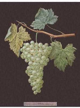 White Grapes poster print by George Brookshaw