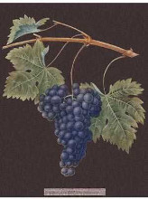 Purple Grapes poster print by George Brookshaw