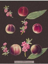 Peaches poster print by George Brookshaw